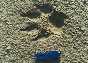 How to identify Gray Wolf tracks and signs.