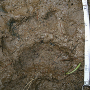 How to identify Black Bear tracks and signs.