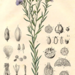 Flax plant detail illustration