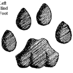 Mountain lion track - left hind (rear) foot